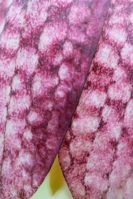 Schachbrettblumen-Detail