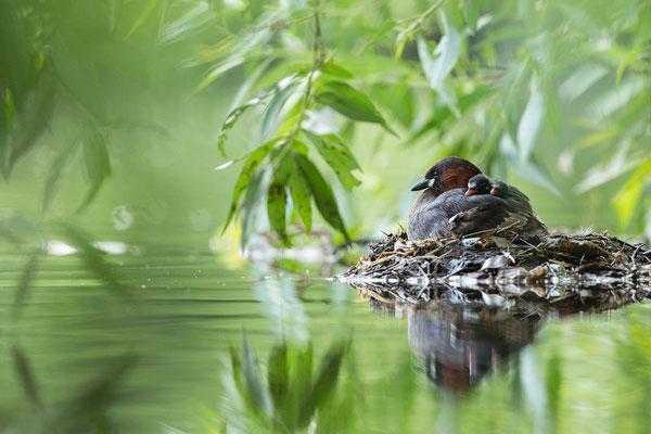 Zwergtaucher am Nest