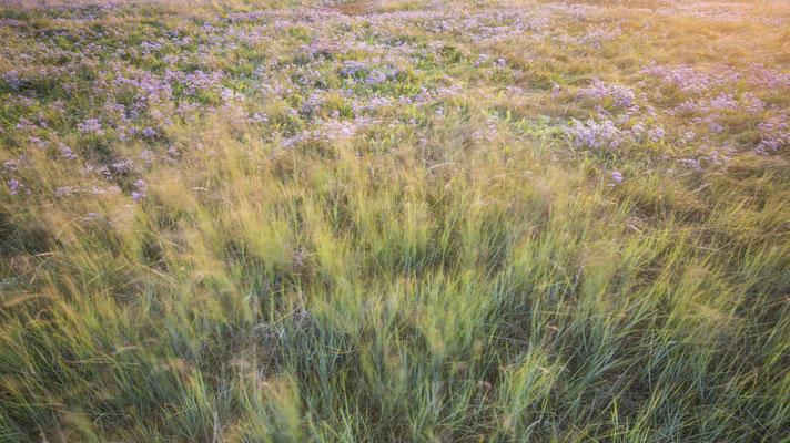 Strandflieder & Gras