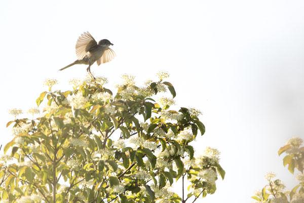 Dorngrasmücke