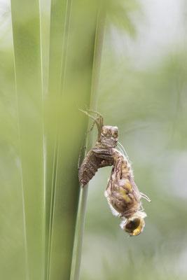 Schlupf der Vierflecklibelle