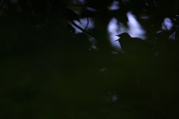 Nachtigall