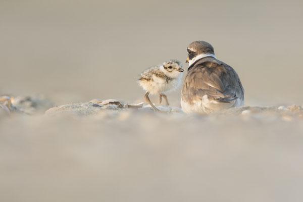 Sandregenpfeifer mit Nachwuchs