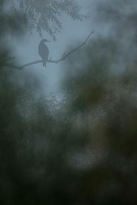 Kormoran im Nebel