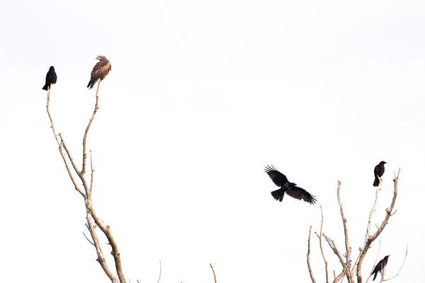 Schwarzmilan unter Krähen