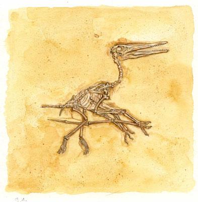Archaeopteryx aus `Dinosaurier : mein buntes Kinderwissen´, erschienen bei Schwager und Steinlein, 2008
