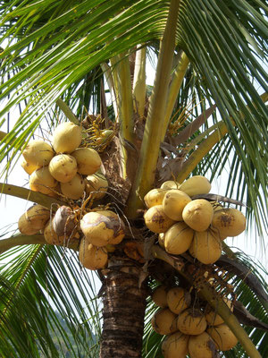 Gold Coconuts