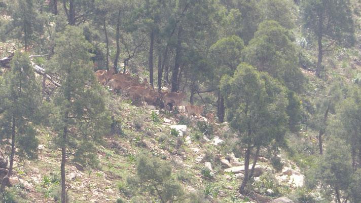 Un groupe de chamois sur la colline