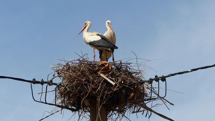 Plusieurs nids de cigognes rencontrés