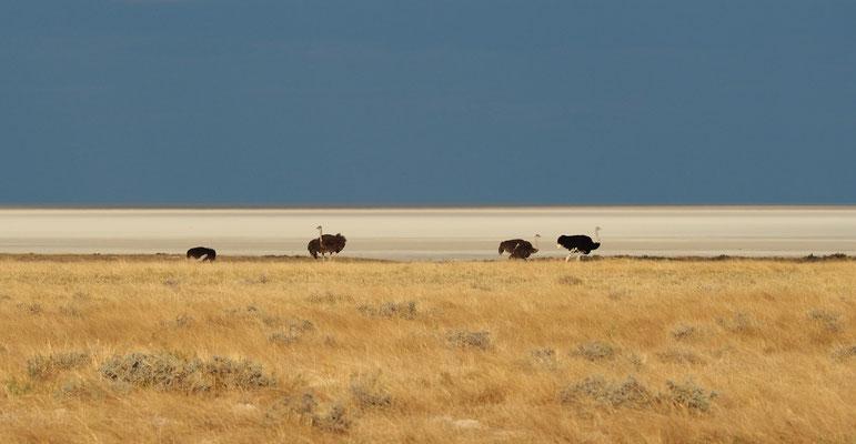 Autruches ; Etosha ; Namibie