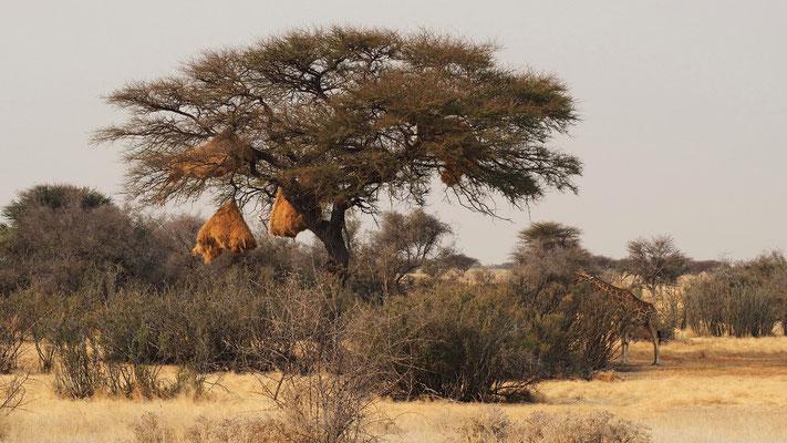 Girafe ; Etosha ; Namibie