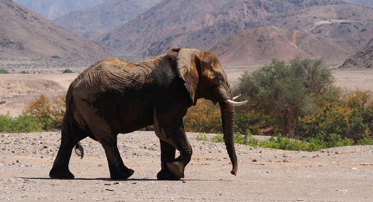 Eléphants du désert ; Hoanib ; Namibie. Guide en Namibie