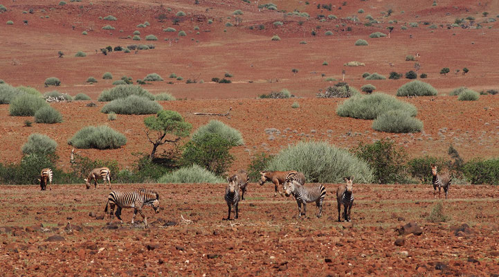 Zèbres de Hartmann dans la concession de Palmwag ; Damaraland ; Namibie