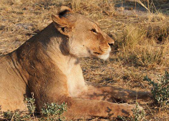 Lionne ; Etosha ; Namibie