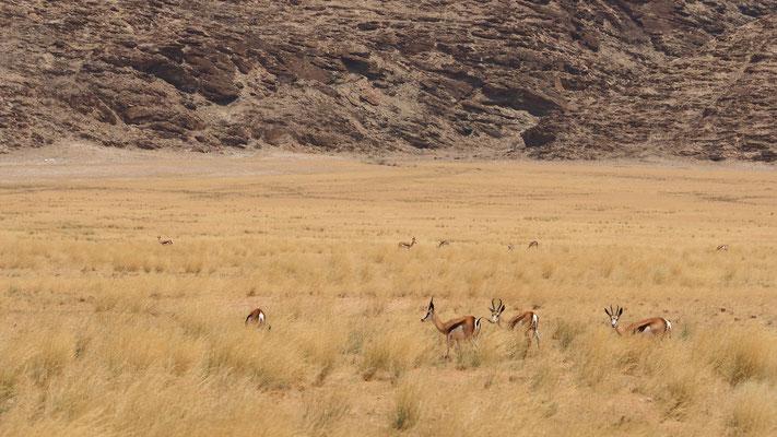 Springboks dans la vallée d'Obias ; Namibie