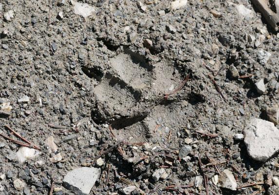 Trace de loup ; lac de Peyssier ; Alpes du Sud. Guide en Namibie