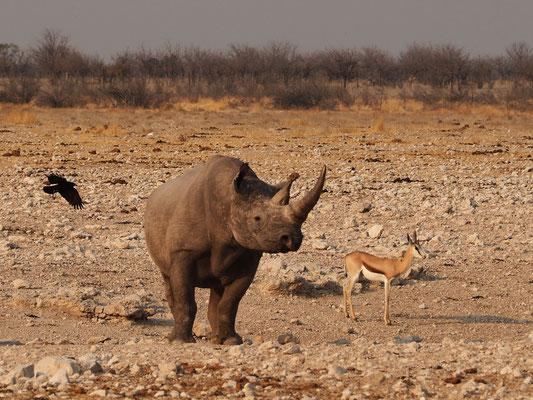 Rhinocéros noir ; Etosha ; Namibie