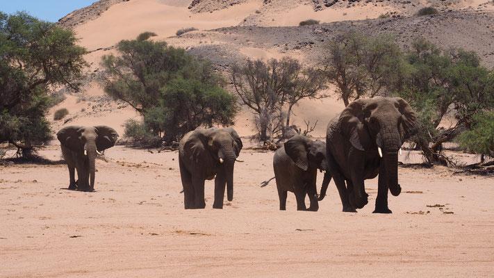 Eléphants du désert ; Huab ; Namibie. Guide en Namibie