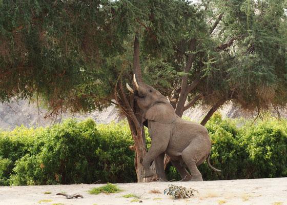 Eléphant du désert dans la Hoanib ; Namibie