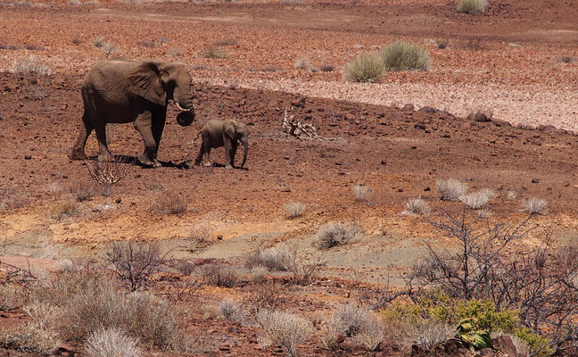 Eléphants du désert entre Ugab et Huab ; Damaraland ; Namibie