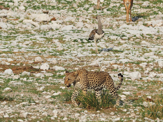 Léopard ; Etosha ; Namibie