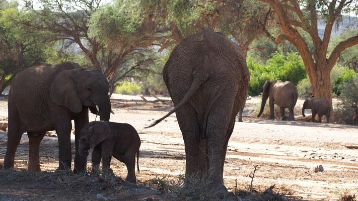 Eléphants du désert dans la Huab ; Namibie