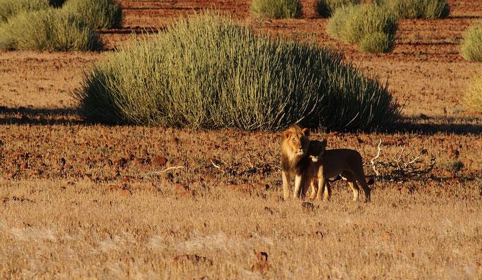 Lions du désert dans la concession de Palmwag ; Damaraland ; Namibie