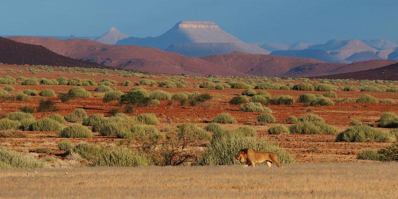 Lion du désert dans la concession de Palmwag ; Damaraland ; Namibie