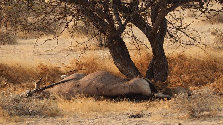 Lionceau ; Etosha ; Namibie