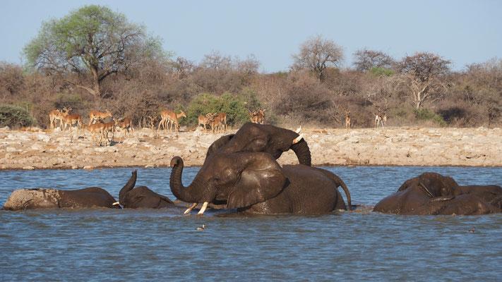 Eléphants ; Etosha ; Namibie