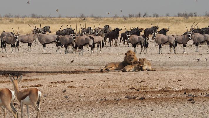 Lions ; Etosha ; Namibie