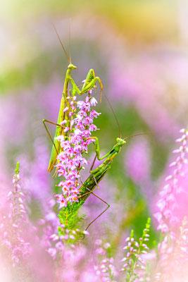 Gottesanbeterin - Mantis religiosa (Linnaeus, 1758) [100 mm / f3.7 / ISO 1000 / 1/200 Sek.]