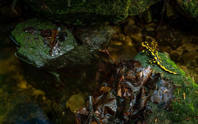 Feuersalamander - Salamandra salamandra (Linnaeus, 1758) [30 mm / f16 / ISO 64 / 13 Sek.]