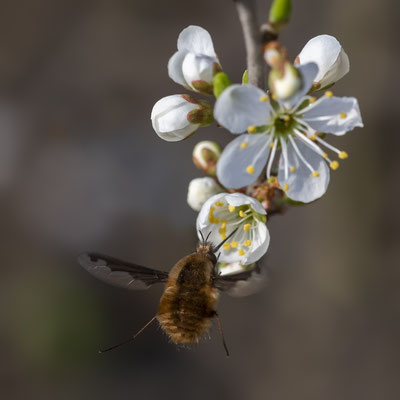 Bombylius major Latreille, 1802 [105 mm / f8 / ISO 640 / 1/1250 Sek.]