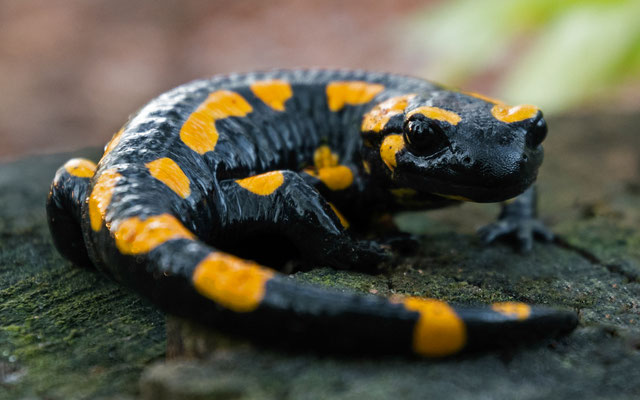 Feuersalamander - Salamandra salamandra (Linnaeus, 1758) [29 mm / f4 / ISO 560 / 1/60 Sek.]