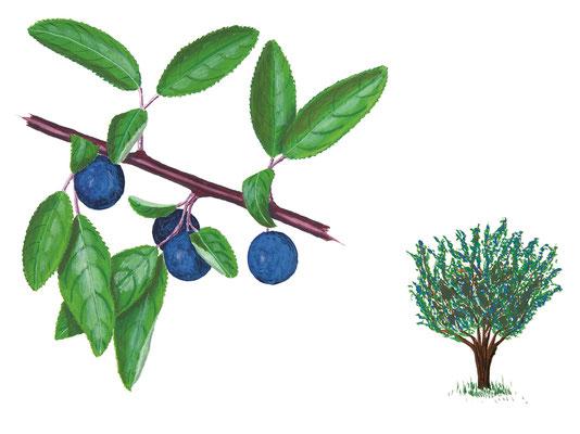 Schlehdorn: eine wichtige Futterpflanze für Dutzende von Raupenarten.