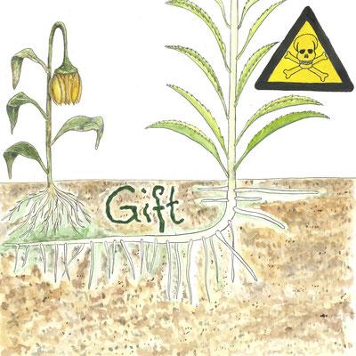 Unter dem Boden kämpft die Goldrute mit chemischen Waffen für ihre Vorherrschaft. Ihre Wurzeln sondern Stoffe ab, die das Wachstum von anderen Pflanzen unterdrücken.