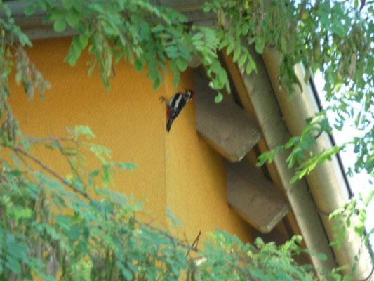 Spechte lieben gedämmte Fassaden ...