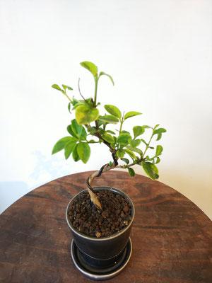 斑入イボタ(プランター炭)