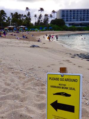 こんな近くにハワイアンモンクシールが現れることも!見えますか〜、少し先に寝転がってるんですが・・・😊