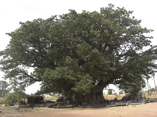 Le plus grand baobab Sénégalais !