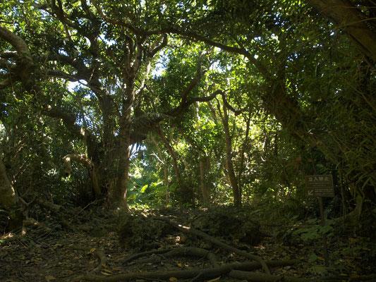 男子禁制。沖縄最高の聖地クボ−ウタキの森。(今は男女共立ち入り禁止)