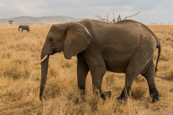 Serengeti: Elefant