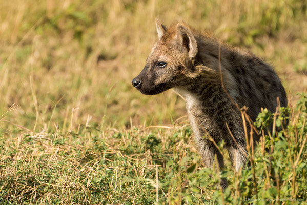 Serengeti: Hyäne