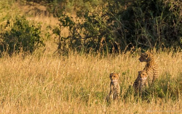 Serengeti: Gepard
