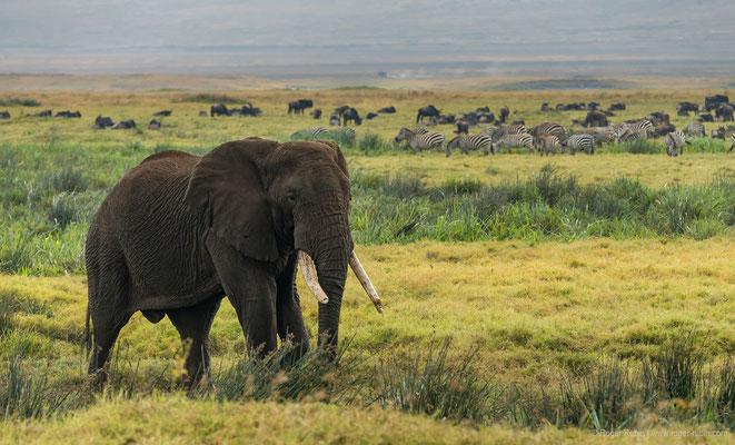 Ngorongoro-Krater: Elefant, Zebras und Gnus