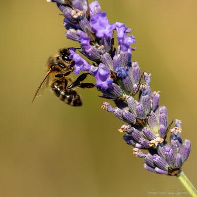 Biene im Lavendelfeld
