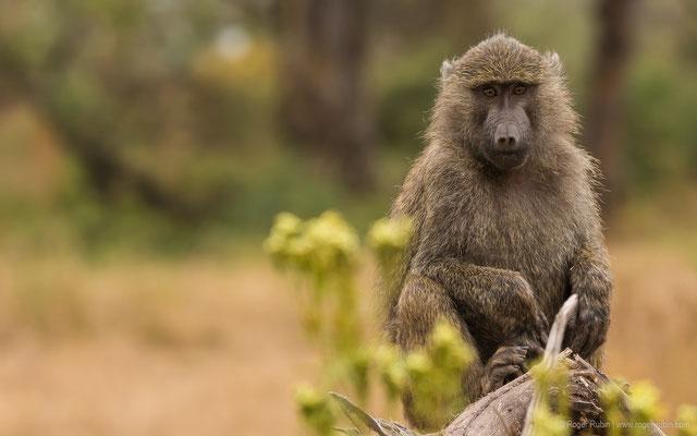 Ngorongoro-Krater: Pavian