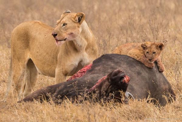 Ngorongoro-Krater: Löwe