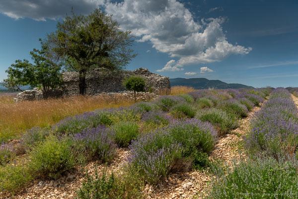 Lavendelfeld
